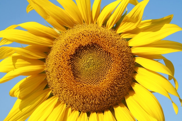 Sonnenblumengarten
