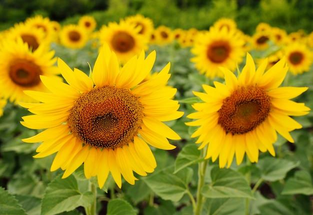 Sonnenblumennahaufnahme gegen ein feld von gelben blumen