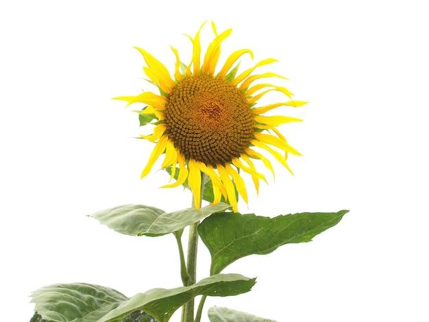 Sonnenblumenpflanze (helianthus annuus) gelbe blume isoliert über