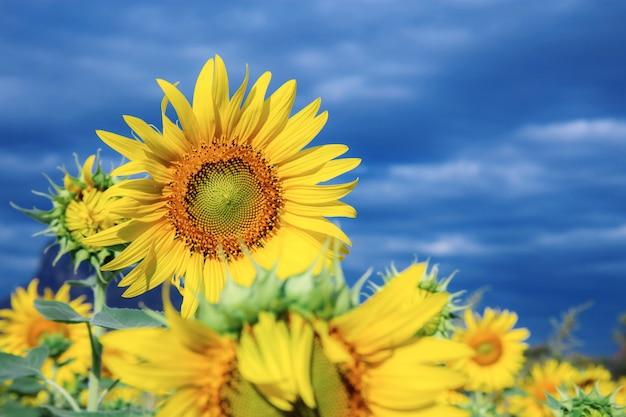 Sonnenblumenwinter mit blauem himmel.