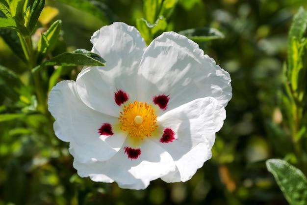 Sonnendurchflutete cistus (lucitanica decumbens) blüht in einem englischen garten
