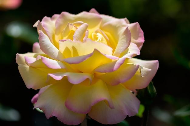 Sonnendurchflutetes rosa gefärbte gelbe rose (frieden) blüht in einem englischen garten