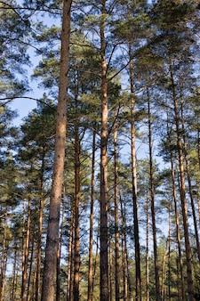 Sonnenlicht beleuchtete große alte pinienbäume im wald, ganz nah