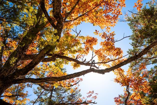 Sonnenlicht durch einen schönen rotahorn in der herbstsaison mit blauem himmel