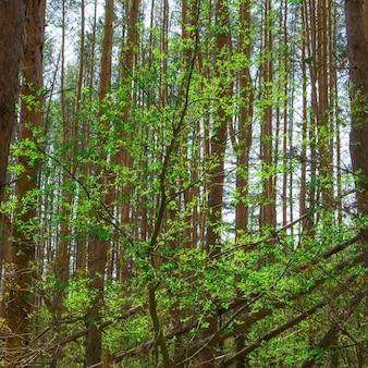 Sonnenlicht im kiefernwald