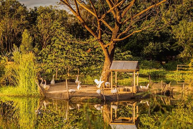Sonnenlichtreflexion im teich mit einer gruppe von gans in der nähe des teiches, umgeben von naturwald.