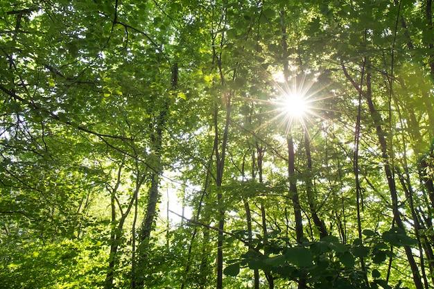 Sonnenlichtstrahl durch urlaub des baums im wald