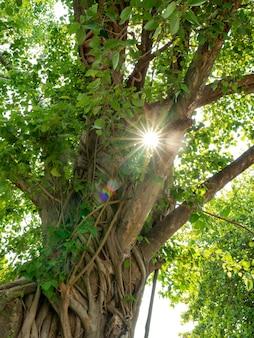 Sonnenlichtstrahl scheint durch grüne blätter des banyanbaums, großer baum im wald, umwelt- und ökologiekonzept