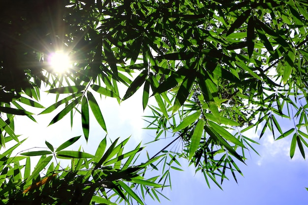 Sonnenstrahl scheint durch grüne bambusblätter auf dem blauen himmel, der frisches gefühl kühl und schön schaut