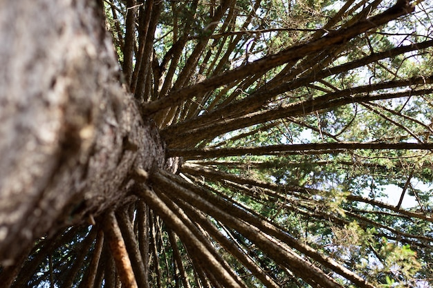 Sonnenstrahlen bahnen sich ihren weg durch die baumstämme in einem großen kiefernwald