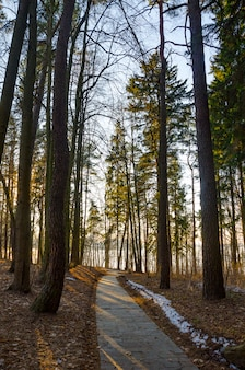 Sonnenstrahlen des abendlichen sonnenuntergangs im winterkiefernwald