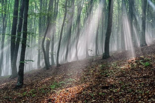 Sonnenstrahlen im buchenwald. sonnenstrahlen ziehen durch den morgen im laubwald durch.