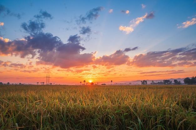 Sonnenuntergang auf einem reisfeld