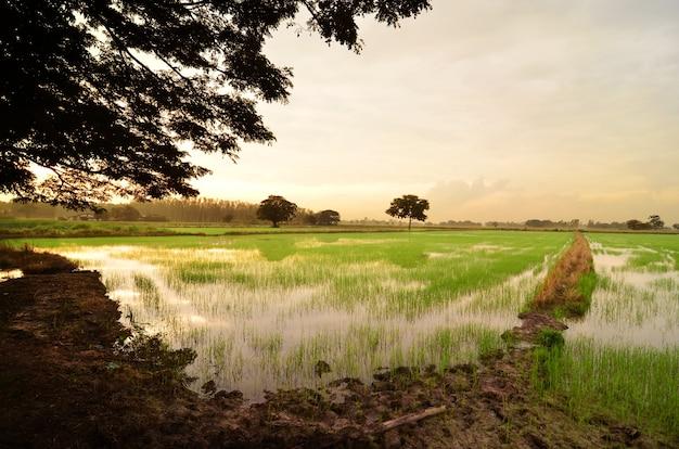 Sonnenuntergang auf grüner reisfarm