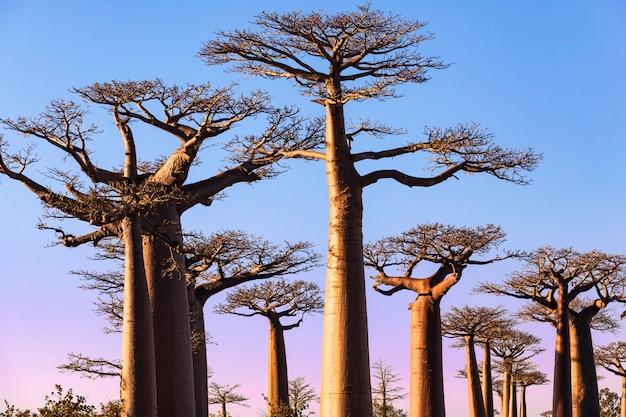 Sonnenuntergang bei baobabs gasse morondava madagaskar