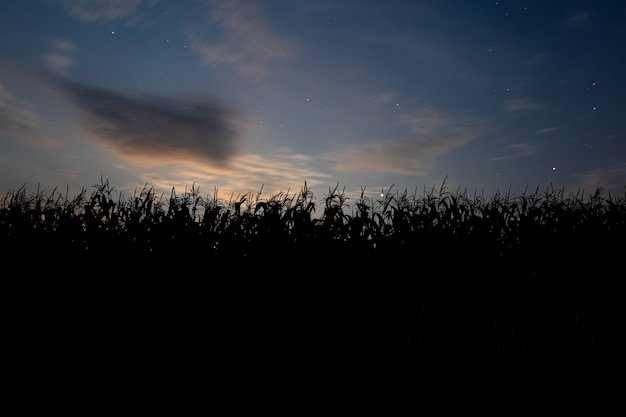 Sonnenuntergang hinter dem maisfeld. landschaft mit blauem himmel und untergehender sonne. pflanzen im schattenbild. vorderansicht.