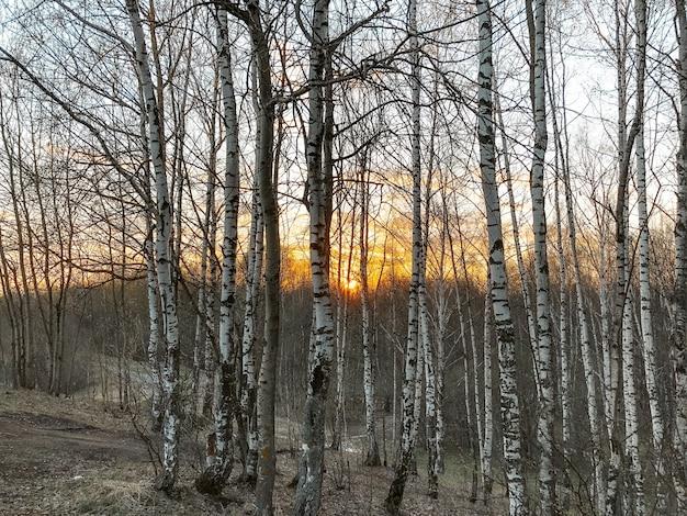 Sonnenuntergang im birkenhain mit sonnenstrahlen, die im frühjahr durch kahlen bäume schneiden