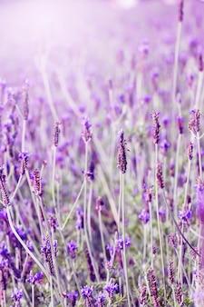 Sonnenuntergang über einem violetten lavendelfeld in der provence, hokkaido