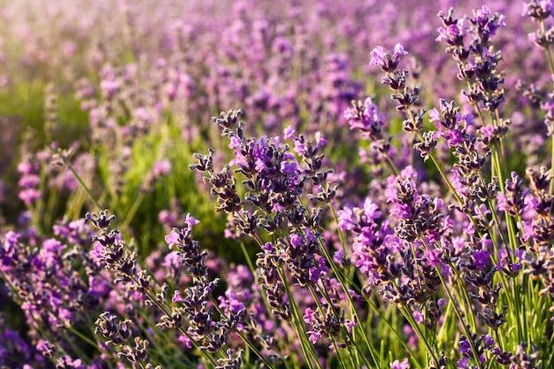 Sonnenuntergang über einem violetten lavendelfeld
