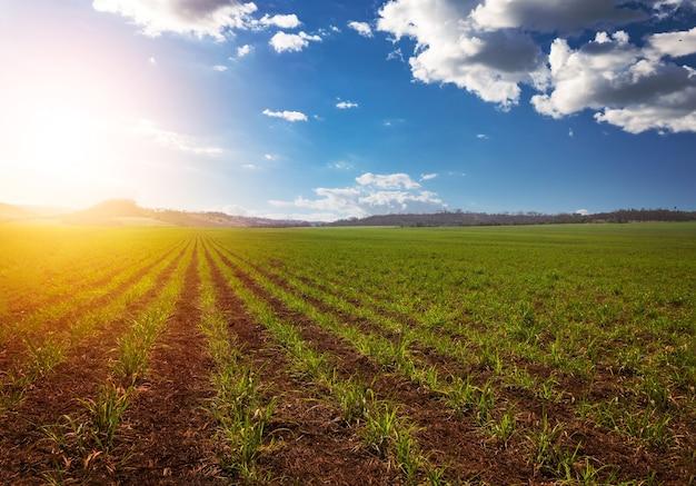 Sonnenuntergang über kleiner junger zuckerrohrplantage mit bewölktem himmel. südamerika landwirtschaftliche wirtschaft bildkonzept.