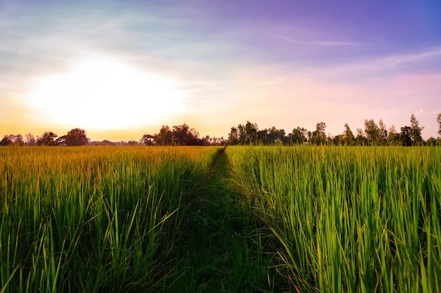 Sonnenuntergangansicht des reispaddyfeldes ländlich von thailand. natur zusammensetzung