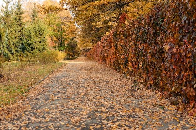 Sonnige herbstlandschaft. die straße zum herbstpark mit bäumen und umgestürzten herbstblättern auf dem boden im park an einem sonnigen oktobertag. vorlage für design. speicherplatz kopieren.