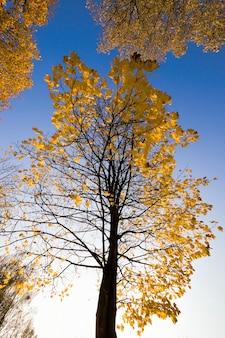Sonnige herbstlandschaft mit hohen bäumen, auf denen das gelbe laub, sonnenlicht den park beleuchtet, echte herbstnatur und farbe