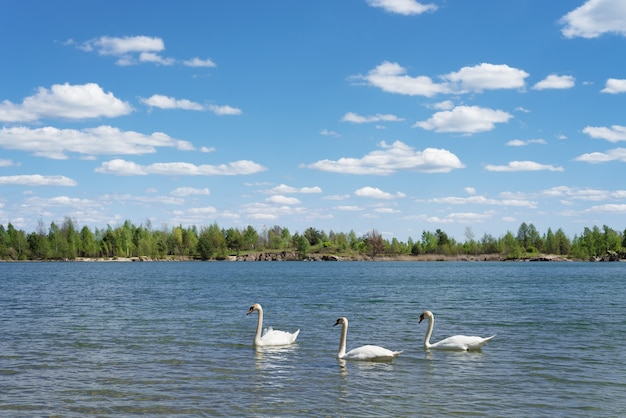 Sonnige sommerlandschaft mit drei weißen schwänen, die im see schwimmen