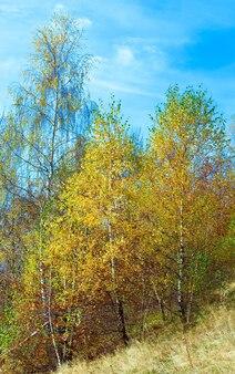 Sonniger herbstbirkenwald am berghang.