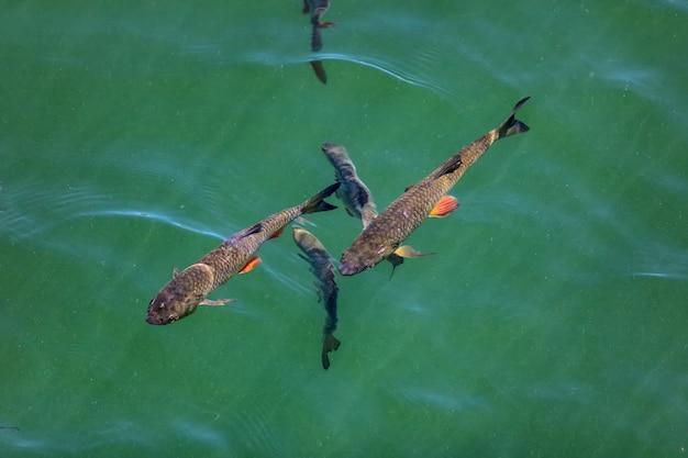 Sonniger tag. europäische döbel, die unter wasser im kleinen see schwimmen