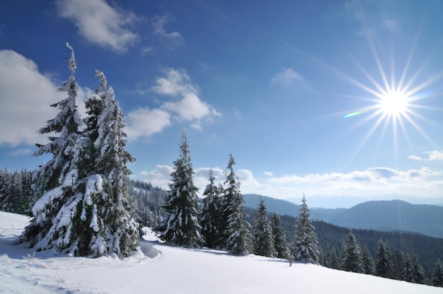 Sonniger tag im winter nadelwald. schneebedeckte hohe fichten und kiefern, blauer himmel und strahlende sonne