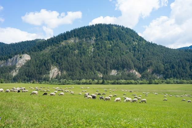 Sonniges grünland mit schafherde grasen