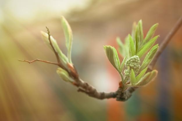 Sorbus grüne knospen und junge blätter. pflanzenentwicklung im frühjahr. erste grüns auf büschen eberesche, eberesche, weißstrahl, hybriden. weicher fokus