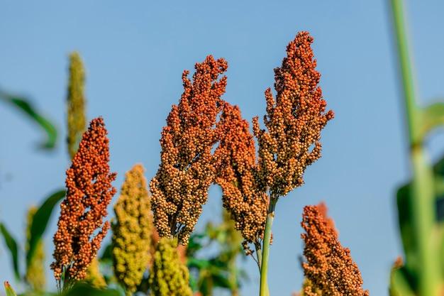 Sorghum bicolor ist eine gattung von blütenpflanzen in der grasfamilie poaceae.