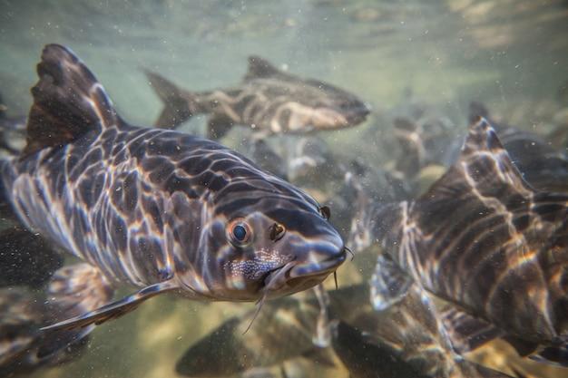 Soro bach karpfen fisch schießen unter dem wasserfall auf namtokphlio nationalpark chanthaburi in thailand. blurry hintergrund.
