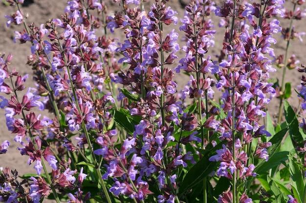Sorte kultivierter salbei - aromatisches heilkraut blüht an einem sonnigen sommertag aus nächster nähe