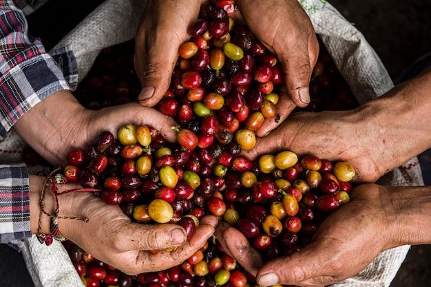 Sorten von kaffeesamen, die von peruanischen kaffeebauern gehalten werden