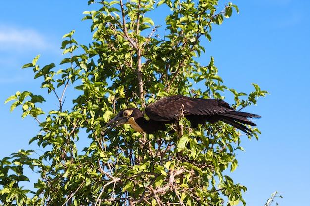 Southhern bodenhornvogel auf dem baum. tarangire, afrika