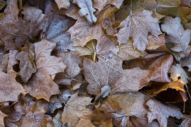 Spätherbst. nahaufnahme von gefallenen ahornblättern bedeckt durch raureif