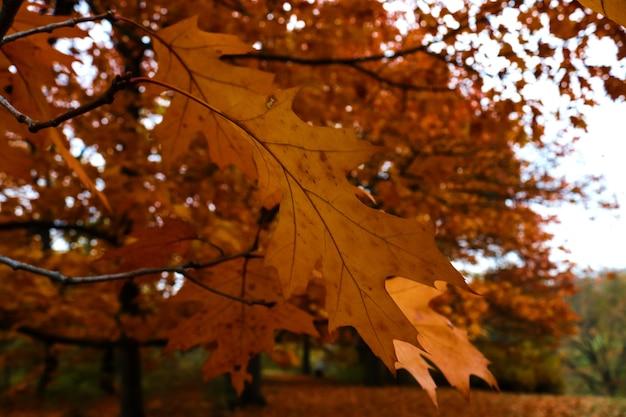 Spätherbstkonzept braune eichenblätter auf bäumen im öffentlichen park natürliche hintergrundtextur