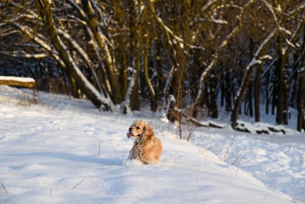 Spaniel vor dem hintergrund eines verschneiten waldes