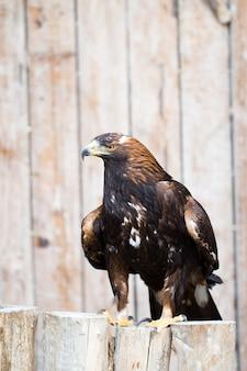 Spanischer kaiseradler - jagdadler.