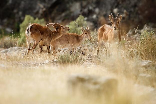 Spanischer steinbock junger mann im naturlebensraum wilde iberia spanische tierwelt bergtiere