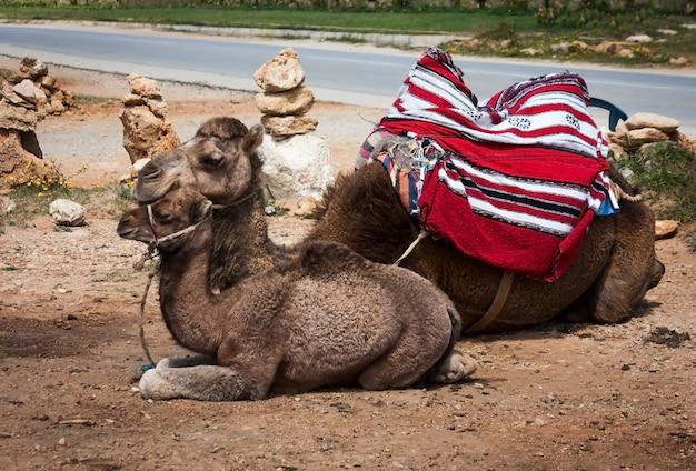 Spanisches kamel