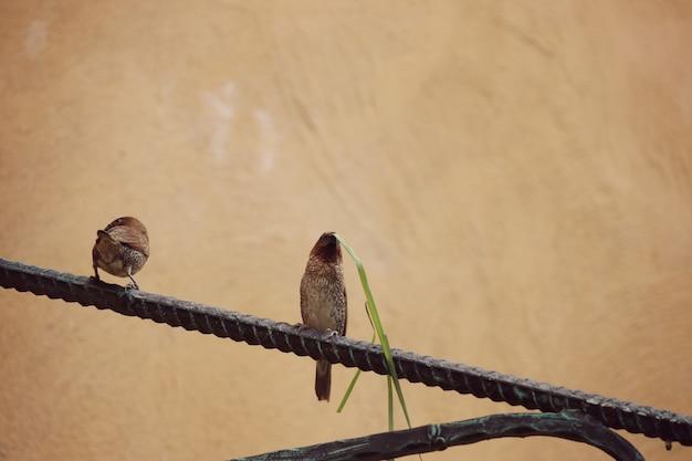 Sparrow biss gras klinge