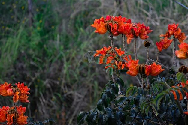 Spathodea campanulata oder arbol de flores naranjas