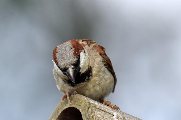 Spatzenvogel der alten welt auf dem bambus