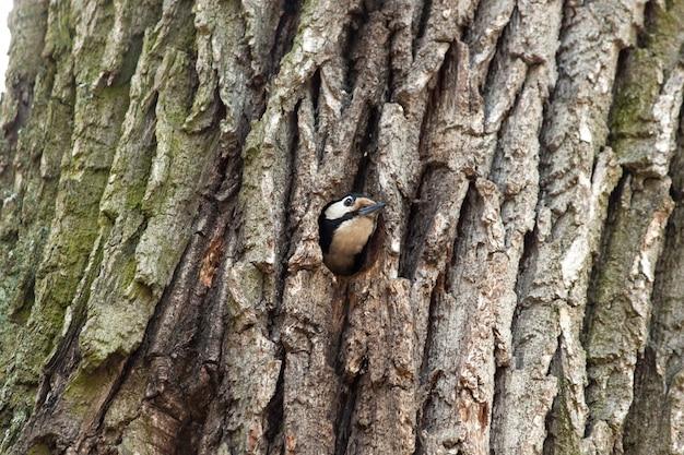 Specht, der höhle in der kiefer für nest hackt. vogel in einem hohlen baum.
