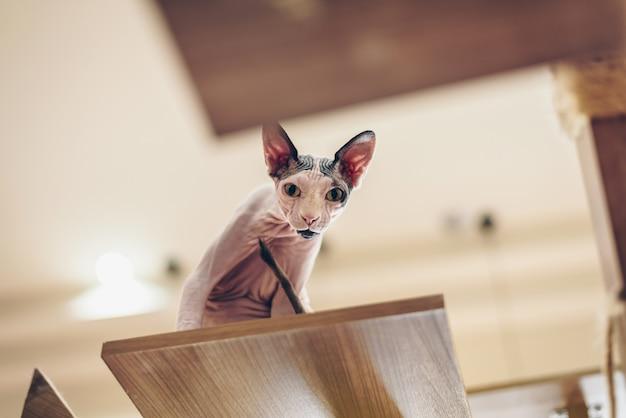 Sphinxkatzen sehen süß und elegant aus, mit kurzen haaren, die auf hohen holzböden stehen.