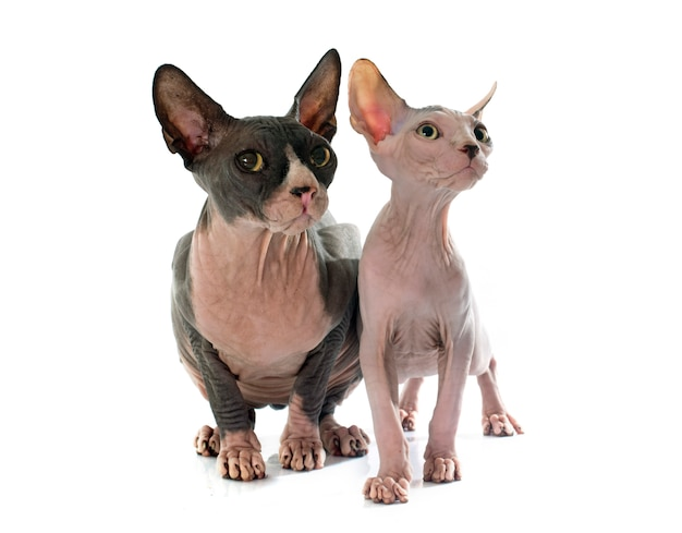 Sphynx haarlose katzen